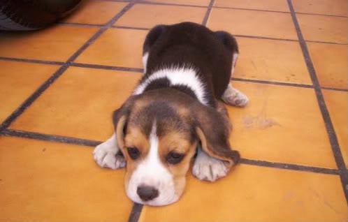 cachrro beagle Vicka