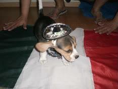 perrita_beagle_mexicana