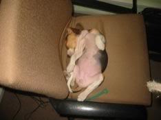perro duerme panza arriba