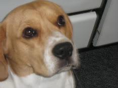 foto de perro beagle