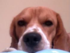 rostro_beagle_macho