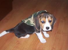 beagle para cazar