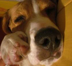 Beagle_Lennon_duerme