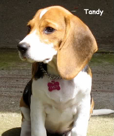 Beagle_Tandy
