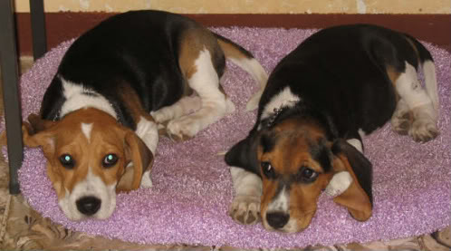 Cachorras_beagle_Tandy_y_Connie