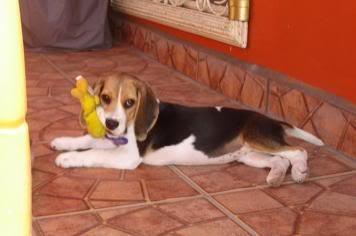 Cachorrita_beagle_juega