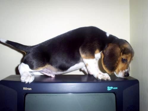 Cachorro_Beagle_Akamaru