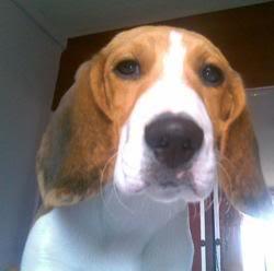 El_beagle_lennon_de_ecuador