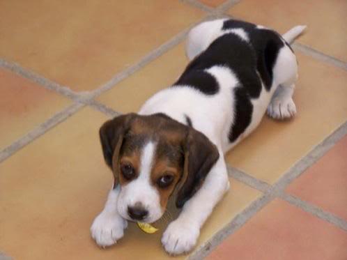 Google_beagle_come_flor