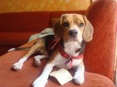 Lupita_beagle_bogota