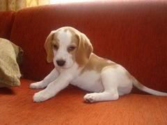 Niko_beagle_albino_Bogota