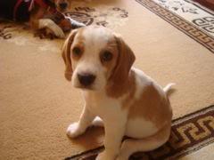Niko_un_beagle_bicolor