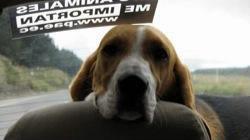 Perro_beagle_Lennon_en_auto
