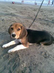 Perro_beagle_Tico_playa