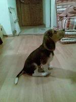 Perro_beagle_sentado