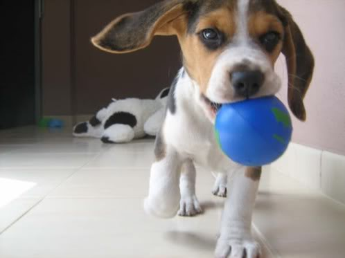 Ringo_beagle_con_pelota