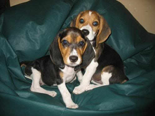 las hermanas beagle Tandy y Connie