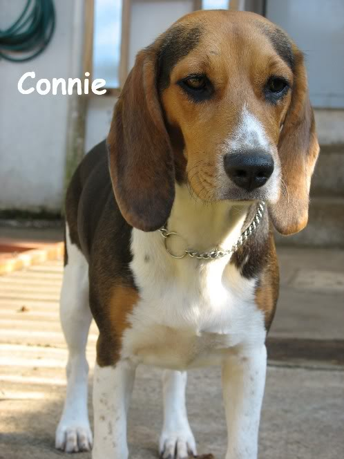 beagle-Connie