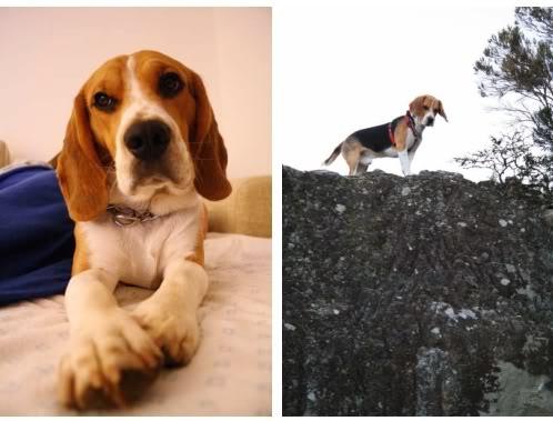 beagle-Ringo-Canarias