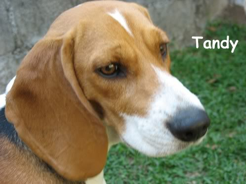 beagle-Tandy