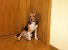 beagle_11_meses