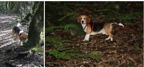 beagle_Ringo_en_el_bosque