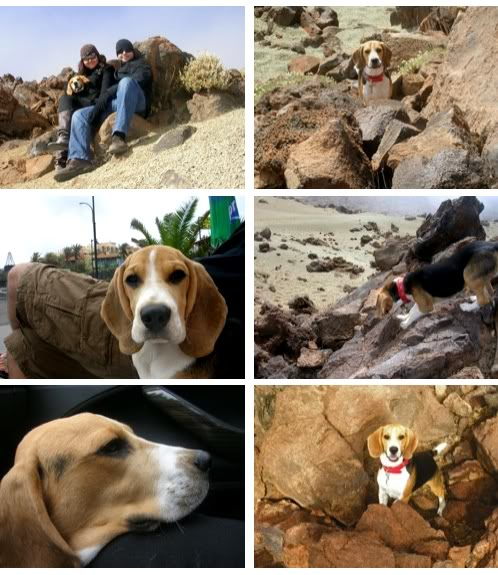 beagle_Ringo_islas_Canarias