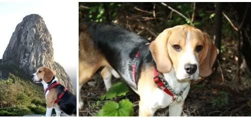 beagle_Ringo_suelto