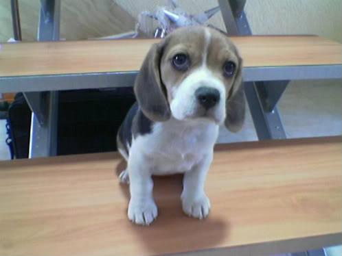 beagle_Wiwis_en_escalera