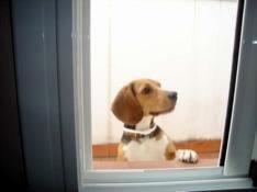 beagle_asomado_a_puerta