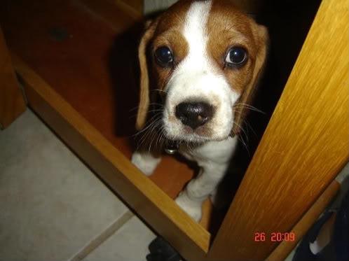 beagle_bicolor_lia_debajo_mesa