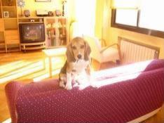 beagle_en_sofa