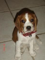 beagle_lia_sentada