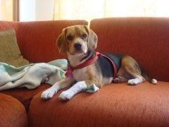 beagle_lupita_de_bogota