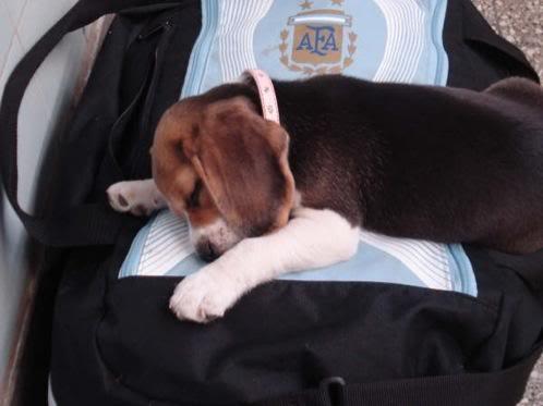beagle_sofi_dormida