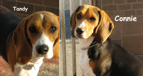 beagles-Connie-Tandy-15meses