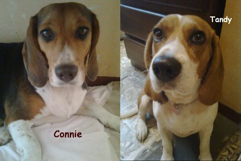 beagles-Connie-y-Tandy-24meses