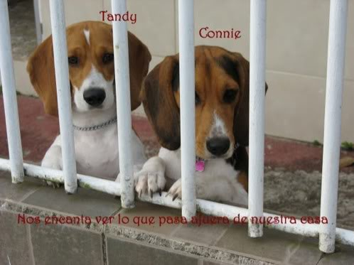 beagles-Tandy-Connie