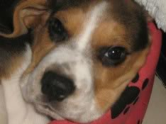 cachorro_beagle_ringo