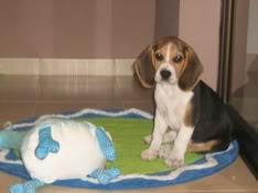 cachorro_beagle_ringo_peluche
