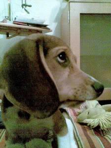cachorro_beagle_travieso