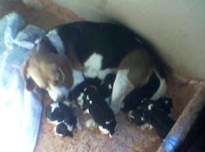 camada beagles con pocos dias