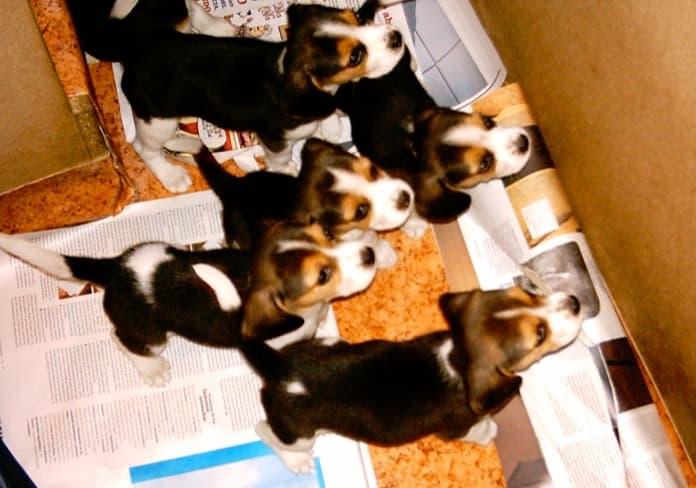 camada de beagles tricolor