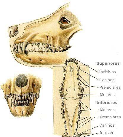dentadura perro