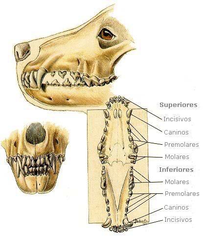 todos los dientes del perro