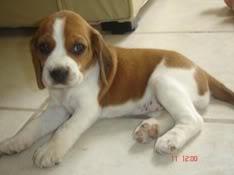 lia_cachorro_beagle_bicolor