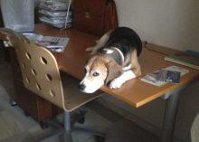 perrita-beagle-escritorio