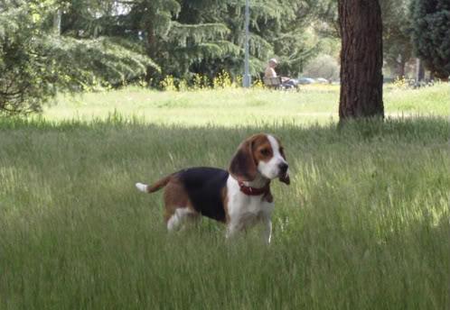 perrita beagle suelta en el parque