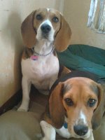 perritas-beagle-Connie-Tandy
