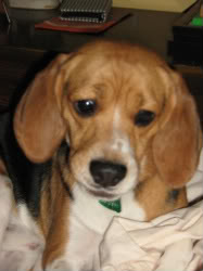 perro_beagle_colombia_ibague